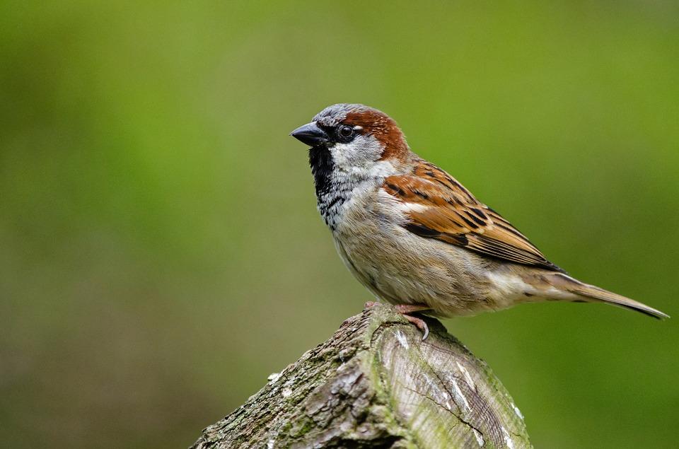 sparrow-958263_960_720