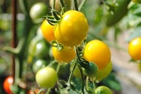 tomato-1492144__180